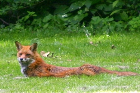 relaxing fox